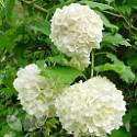 Viburnum Opulus (Guelder-Rose)