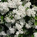 Crataegus monogyna (Hawthorn)