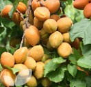 Apricot Petit Muscat®