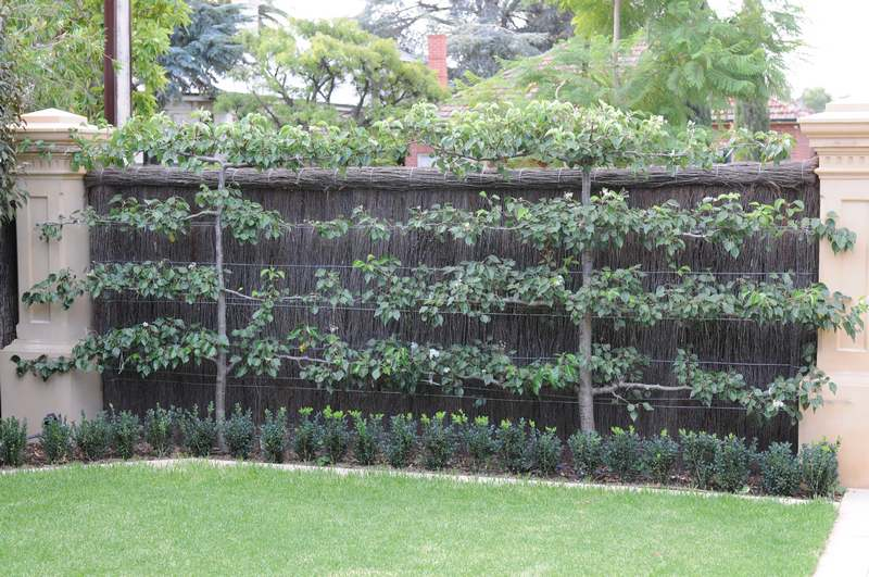 We have a large selection of Espalier and Fan trained fruit trees for sale.