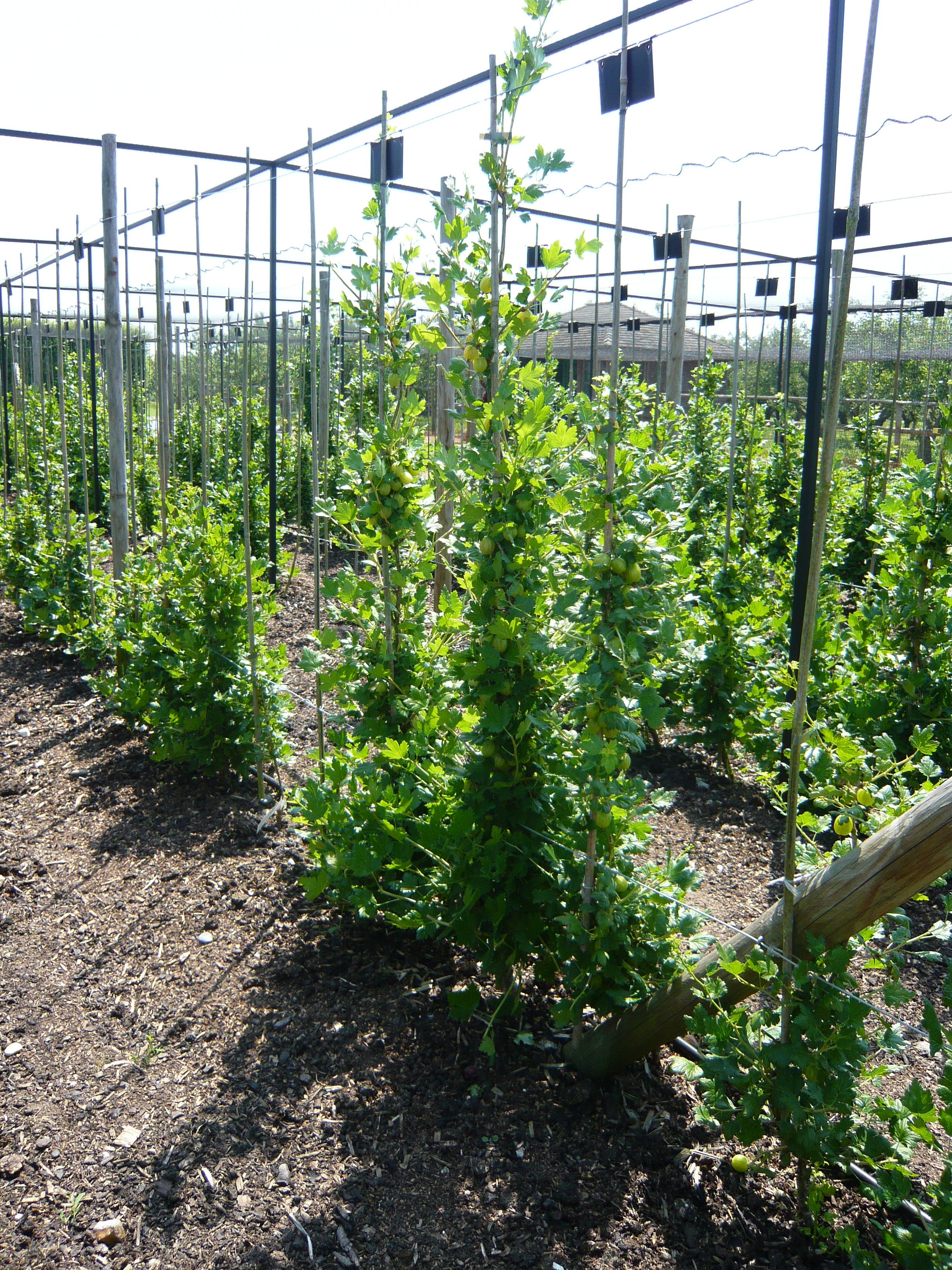 Gooseberry Cordons